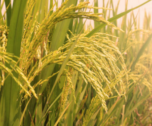 Economists say Vietnam focuses too much on rice exporting