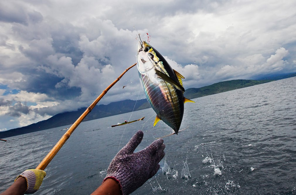 Skipjack tuna is caught off Flores island in Indonesia. Photograph: Paul Hilton/Greenpeace