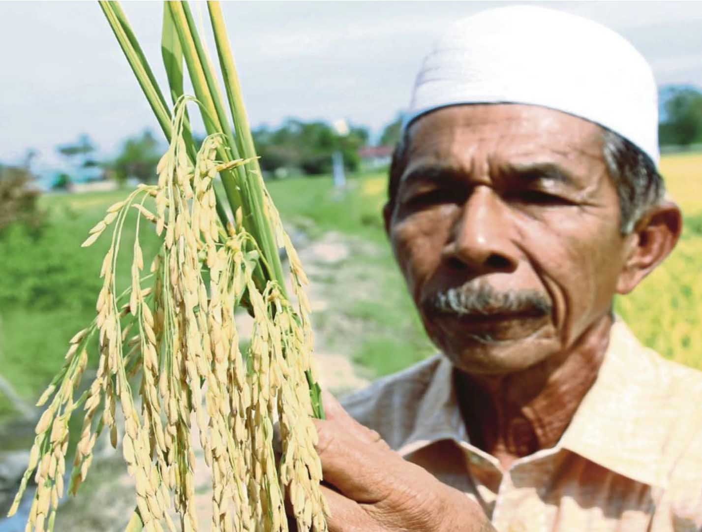 Terengganu's rice production volume can only meet about 60 per cent of the local demand and the state needs to import rice from other states. FILE PIC