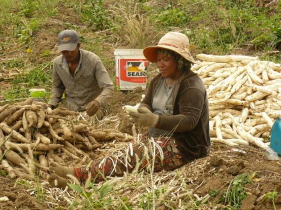 Legal certainty regarding land ownership is decisive: peeling cassava in Kratie, Cambodia.