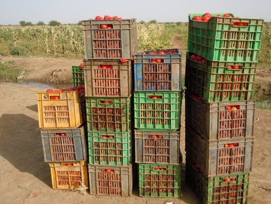 Crates of tomatoes in Nepal awaiting shipment. (Photo: Courtesy Virginia Tech)