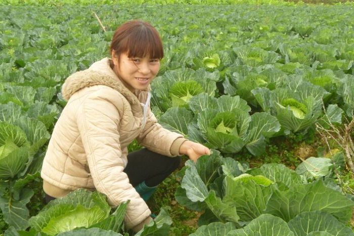 Vang Thị Huong harvesting cabbages from her farm in Na Kheo Commune, Bac Ha District, Vietnam before the Sunday market. (ABC Rural: Cassandra Hough)