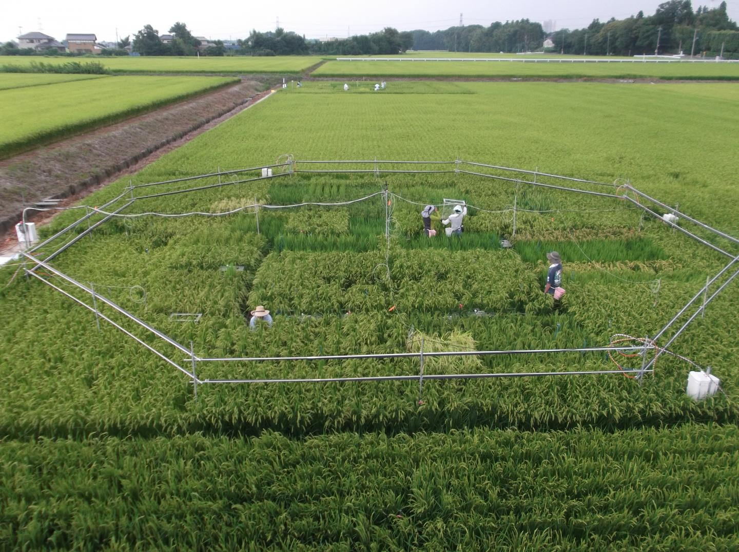 An experimental rice field near Tsukuba, Japan, testing the effects of increased carbon dioxide exposure. Toshihiro Hasegawa/National Agriculture and Food Research Organization of Japan