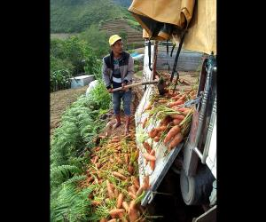 Benguet farmers forced to throw away vegetables amid low prices, oversupply