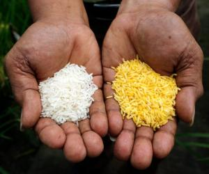 GMO Golden Rice meets safety standards set by Philippines, Bangladesh, and Indonesia, assessment shows
