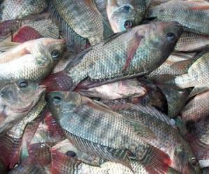 Tilapia markets underdeveloped despite strong Philippine production-BFAR