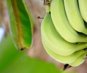 4 New Cambodian Banana Plantations Approved for Export to China
