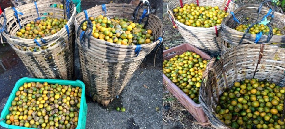 Overly ripe and heaps of rotting calamansi fruits were a usual sight near calamansi farms in many barangays of Victoria, Mindoro Oriental during peak fruiting season in the past few decades.