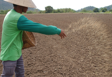 Direct seeded rice (DSR) has emerged as an efficient and economically viable alternative to PTR as it saves scarce and expensive resources such as labor and water, and reduces GHG emissions. Photo courtesy of IRRI.